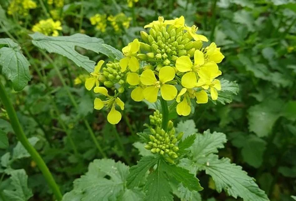 senf-pflanze